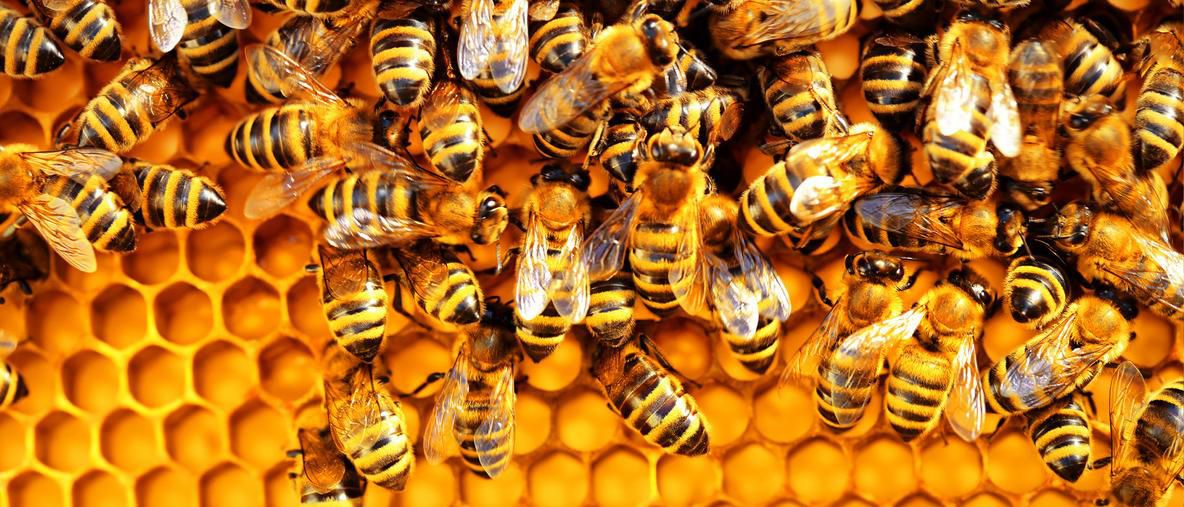 bees-population-decline